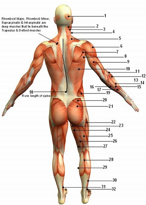 The Human Muscular System Back