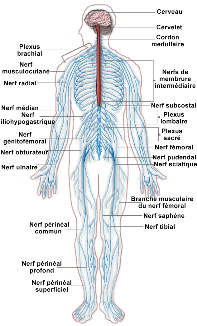 neurophysiology of never impulses All-or-none law ((neurophysiology) a nerve impulse resulting from a weak stimulus is just as strong as a nerve impulse resulting from a strong stimulus.